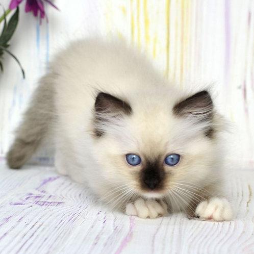 141 Businka    Ragdoll female kitten
