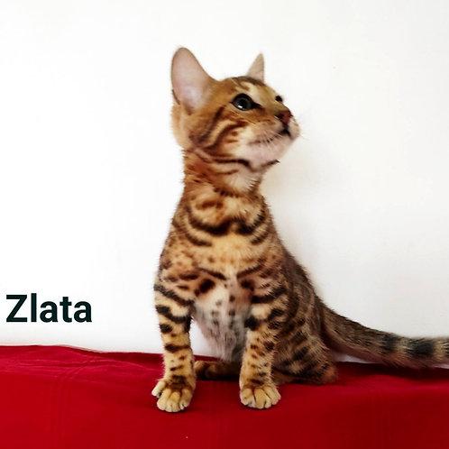 32 Zlata   purebred Bengal female kitten