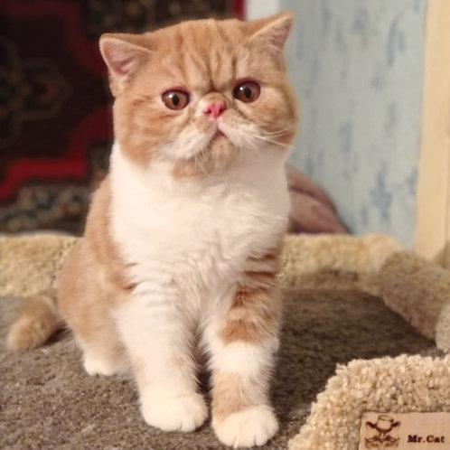 20 Mr. Red  Exotic shorthair male kitten
