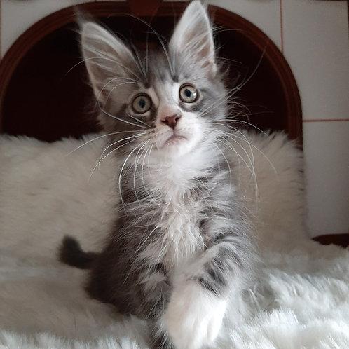 727 Sandra Maine Coon female kitten