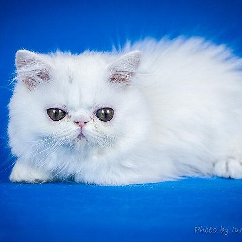 201 Angel   Persian  male kitten