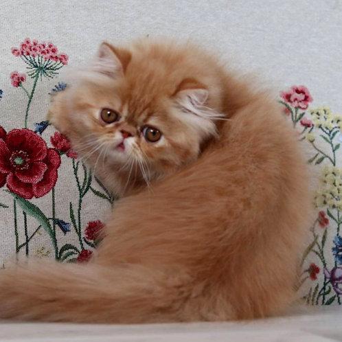241 Alexis Persian  female kitten