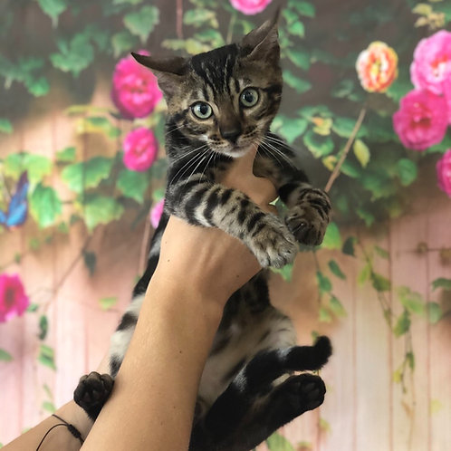 143 Cosmos purebred Bengal male kitten