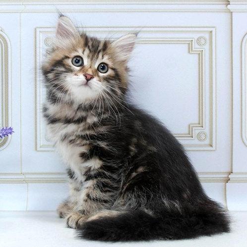 84 Lusi   Siberian female kitten