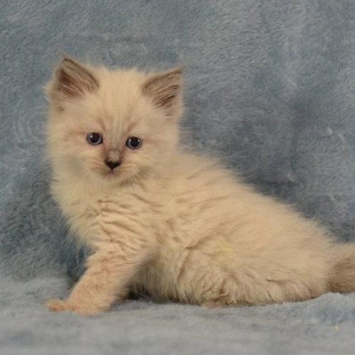 125 Frederik     Siberian male kitten