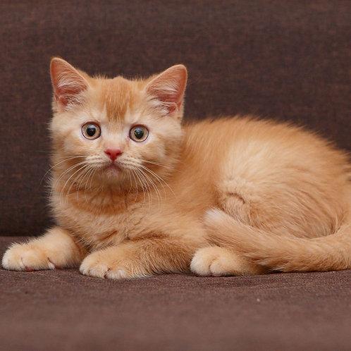 833 Cerceya  British shorthair female kitten
