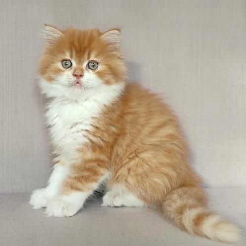 216 Chubise     Scottish straight longhair male kitten