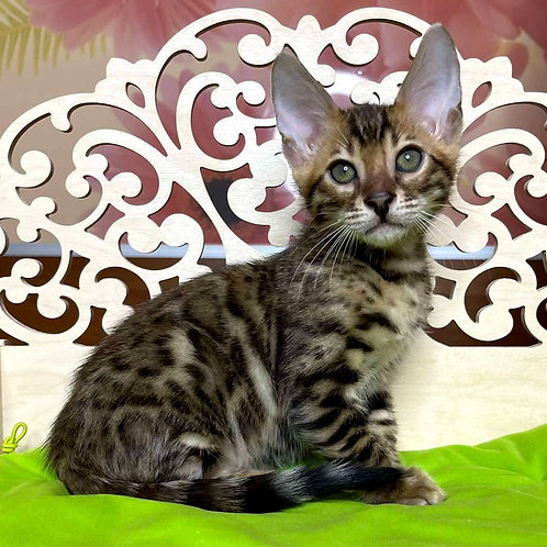 269 Onix  purebred Bengal male kitten