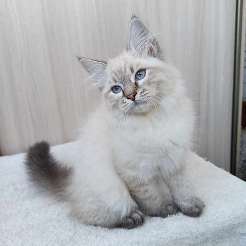 Gellert Siberian male kitten