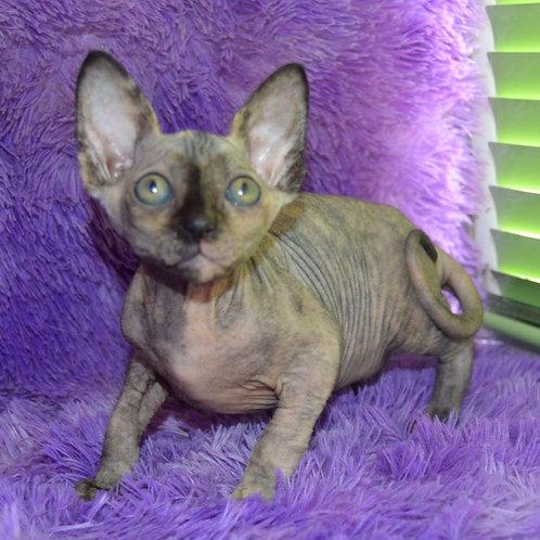 506 Vendy female Sphynx  kitten