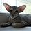 Thumbnail: 511  Forest   Oriental male kitten