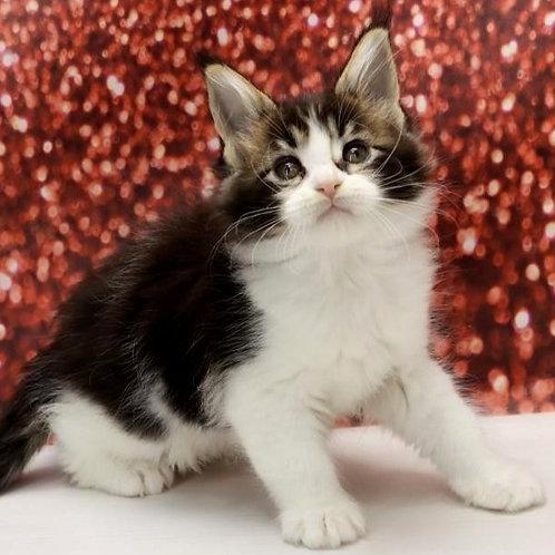 557 Lozanna  Maine Coon female kitten