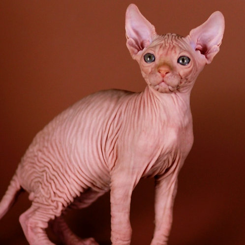 434 Vintage male Sphinx kitten