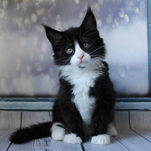 631 Luke Maine Coon male kitten