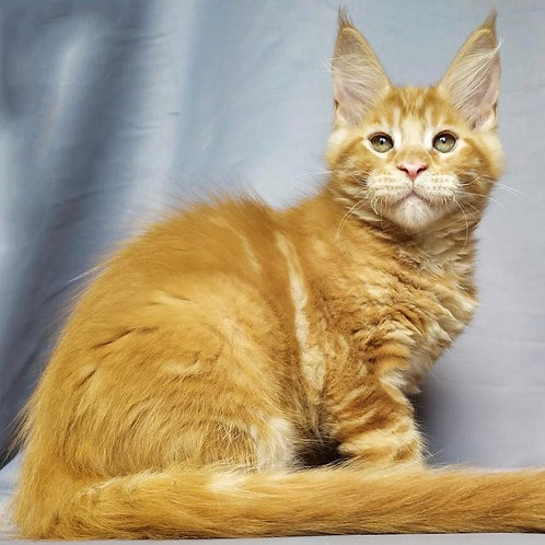 366 Oliver  Maine Coon male kitten