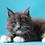 Thumbnail: 572 Ragnar  Maine Coon male kitten