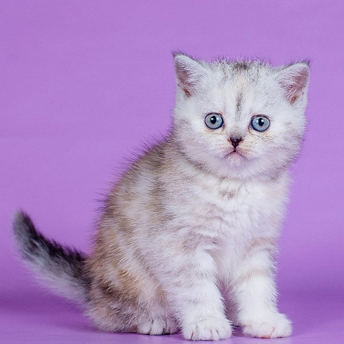 Estelle Scottish straight shorthair female kitten