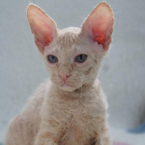 388 Darko  male Sphinx Donskoy kitten