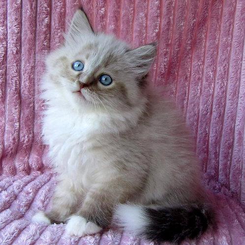 263 Sakmus   Siberian male kitten