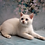 Thumbnail: 1008 Elisey  British shorthair male kitten