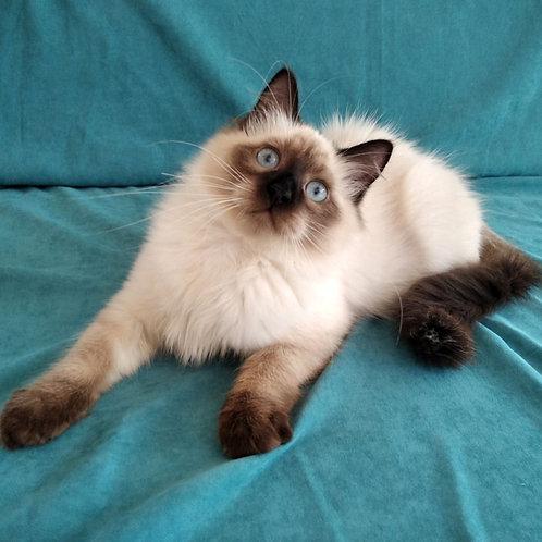 286 Nikos   Siberian male kitten