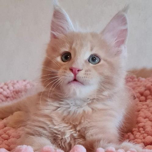 510 Jak Pot  Maine Coon male kitten