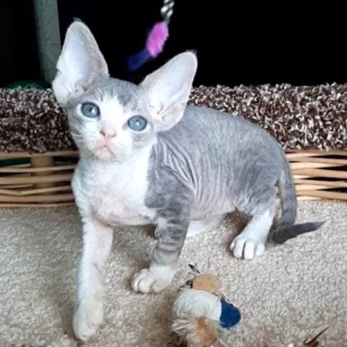 450 Liatris  female kitten Devon Rex