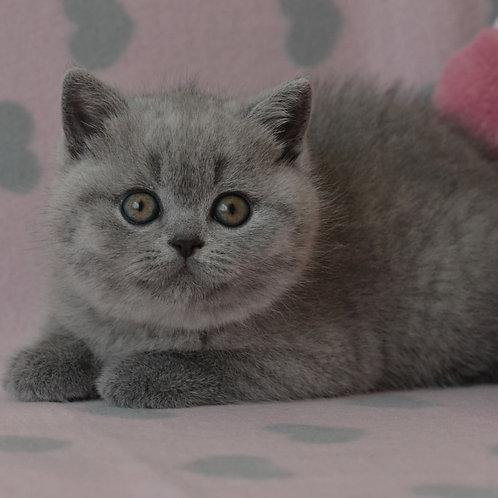 697 Yanina  British shorthair female kitten