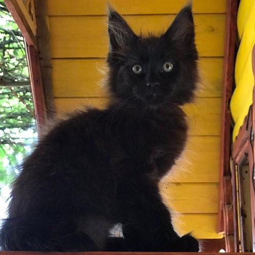 Leo Maine Coon male kitten