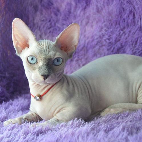 496 Minerva female Bambino  kitten