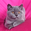 Thumbnail: 462  Monclear      Scottish straight shorthair male kitten