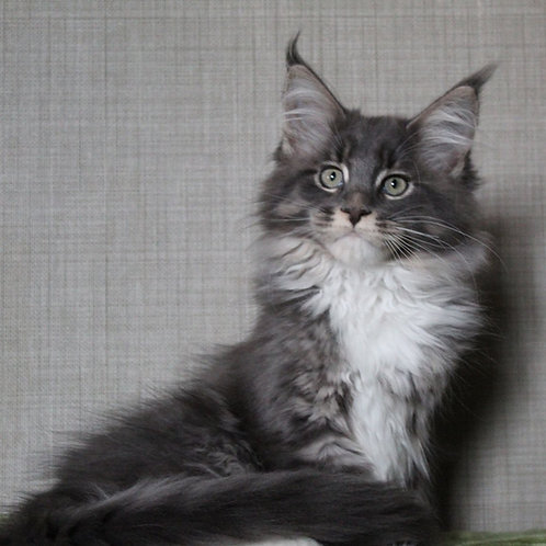 Frank  Maine Coon male kitten