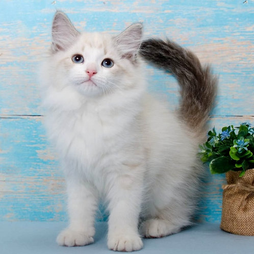 237 Otrada      Siberian female kitten
