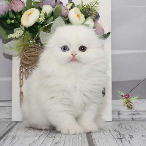 497 Talisman   Scottish fold longhair male kitten