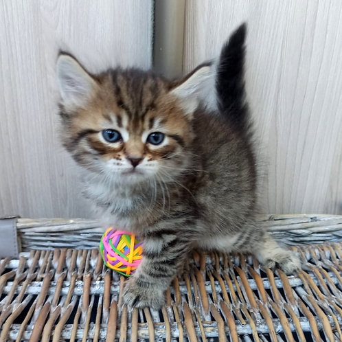 294 Ustin     Siberian male kitten