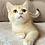 Thumbnail: 996 Archi  British shorthair male kitten