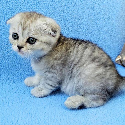 1141 Jamaika  Scottish fold shorthair female kitten