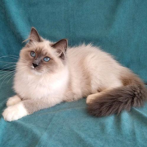 287 Maribella   Siberian female kitten