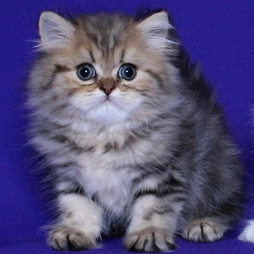 113 Farid   Persian  male kitten