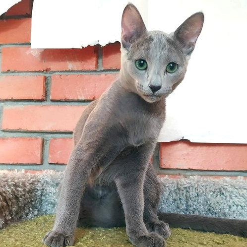 150 Eva  Russian blue female kitten