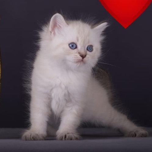 426 Vulf Siberian male kitten