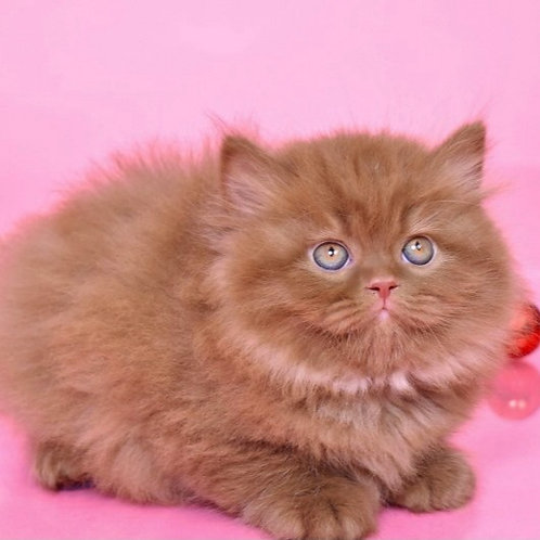 571 Simba  British longhair male kitten