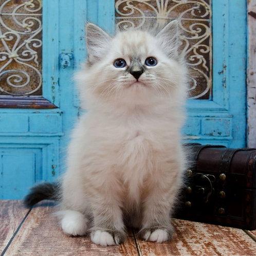 706 Wild Siberian male kitten