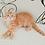 Thumbnail: 165 Balu     Siberian male kitten