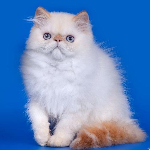 261 Timmy Persian  male kitten