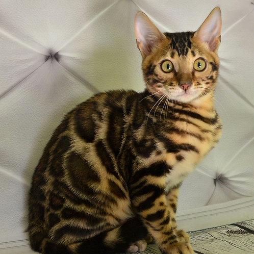 268 Markus  purebred Bengal male kitten