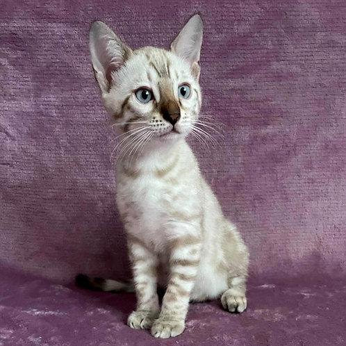250 Ostin  purebred Bengal male kitten