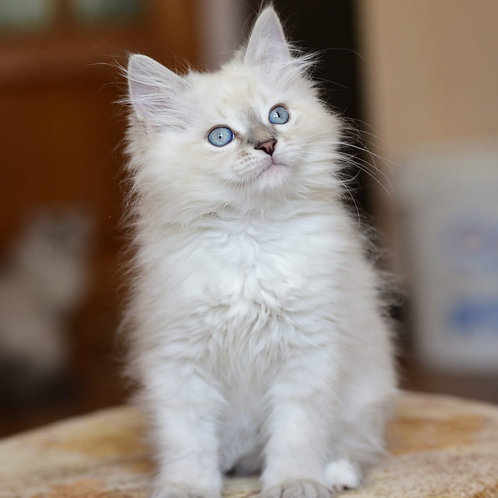 Danco Siberian male kitten