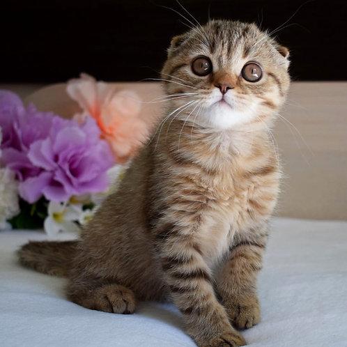 369 Viola      Scottish fold shorthair female kitten