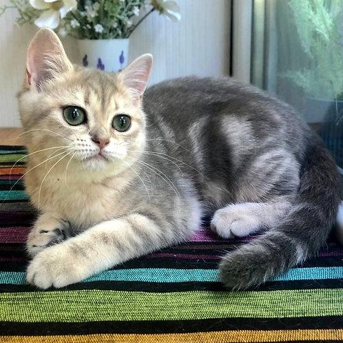 995 Qiana   British shorthair female kitten